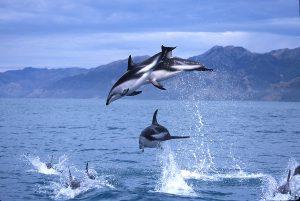 kaikoura-dolphins