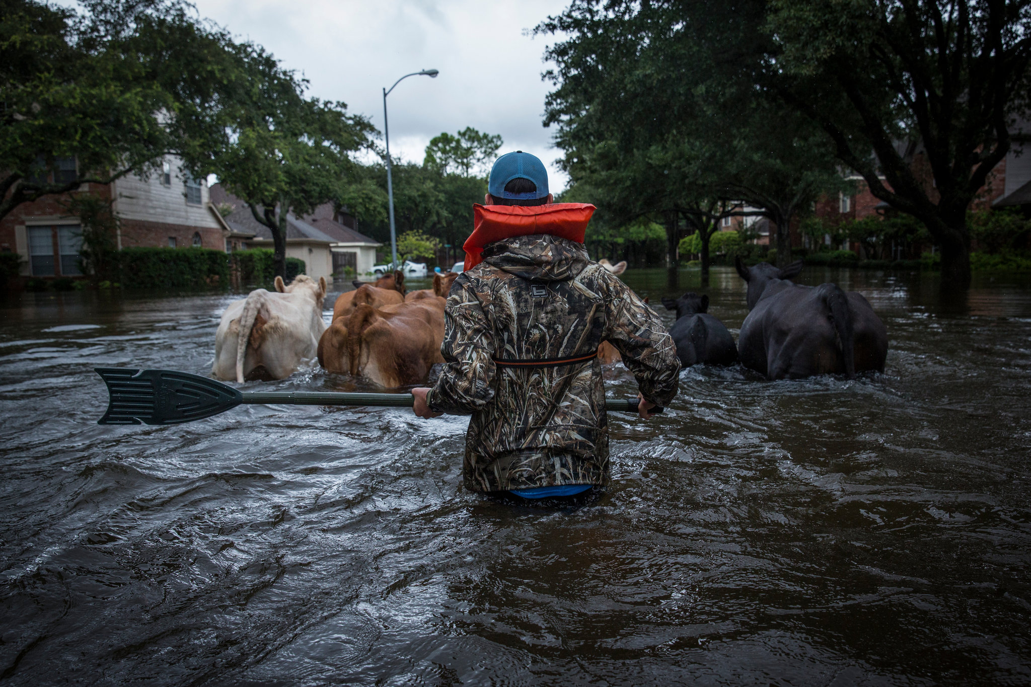 hurricane-harvey-flooding-cows
