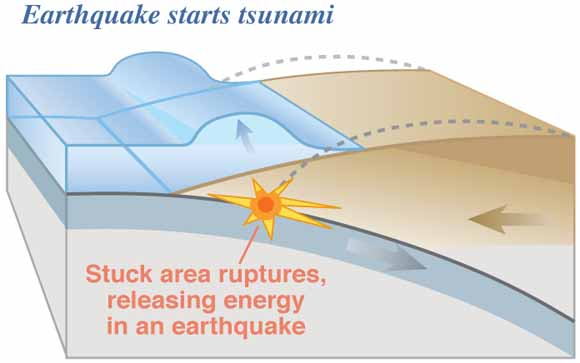 Image of subducting plate (grey) beneath overriding plate (brown). When an earthquake occurs, the overriding plate rapidly moves upward, forcing water out of the way. This causes a wave of water to form and spread outward. Credit:  USGS, public domain